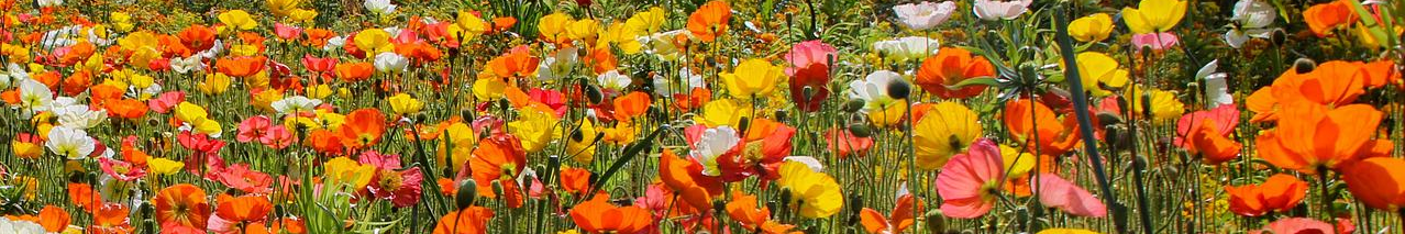 Poppies on Glindas Guidance